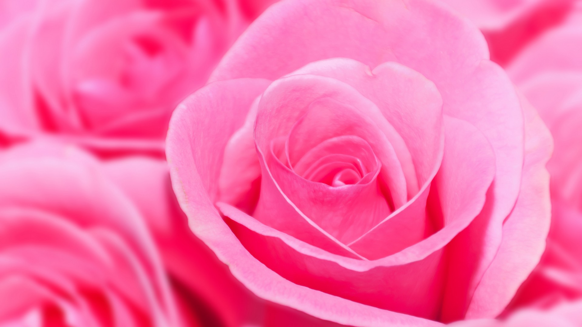 Pink Rose HD Wallpapers,