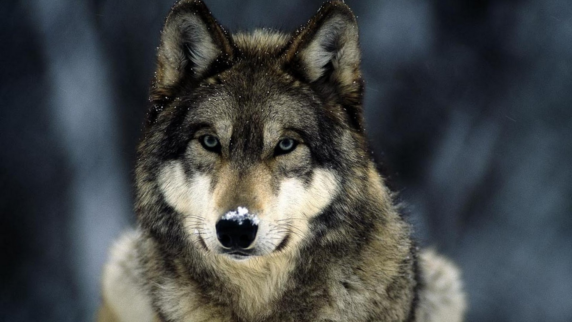 Image Result For Wolf Wallpapers Hd