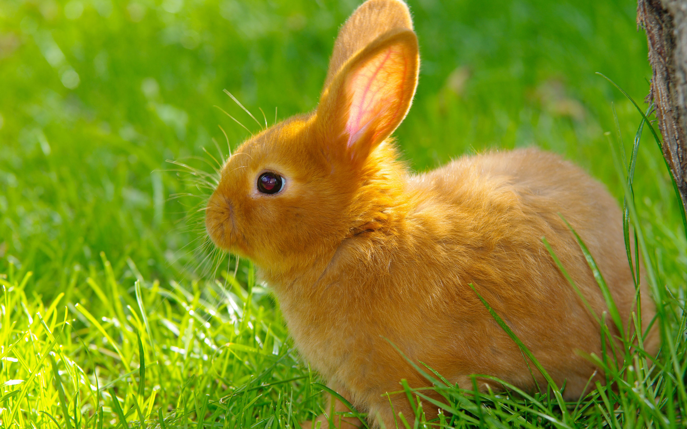 Rabbit HD Wallpapers.