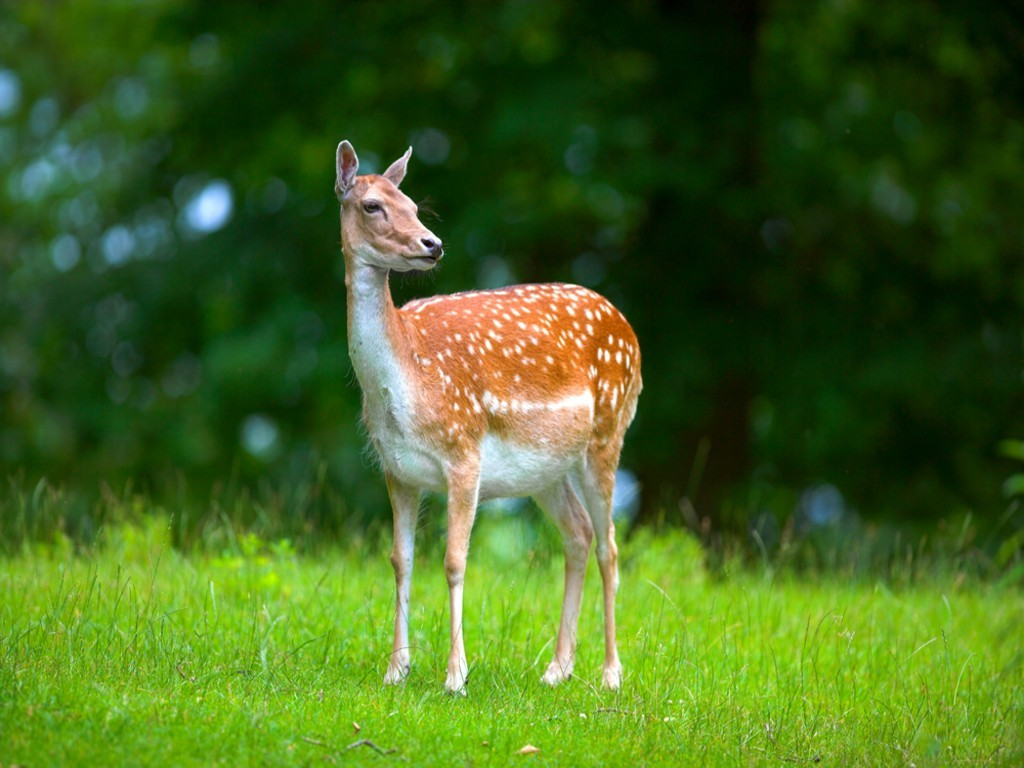 Deer Hd Wallpapers