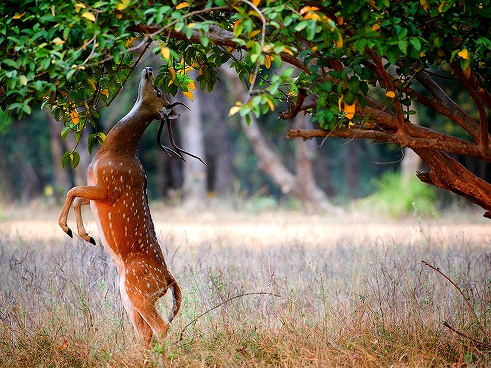 Deer Hd Wallpapers
