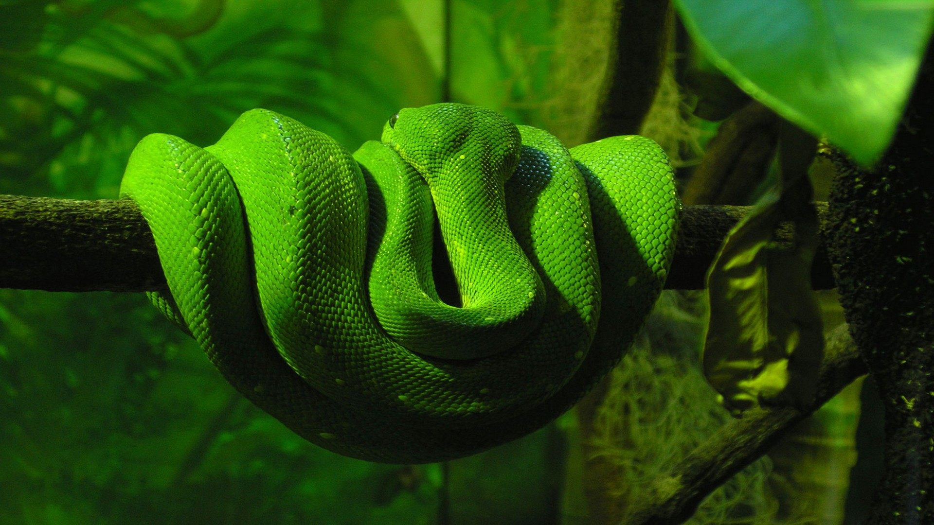 snakes hd wallpapers.