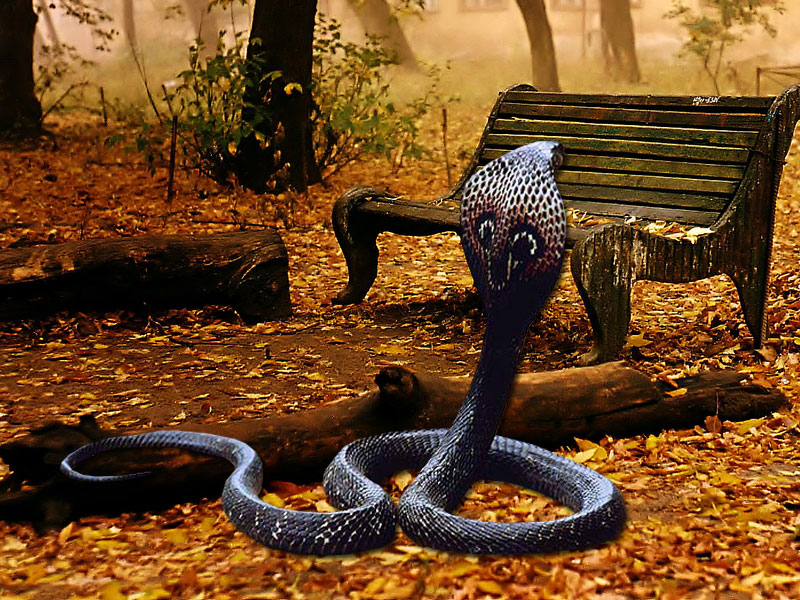 Awesome Cobra Snake Hd Wallpapers