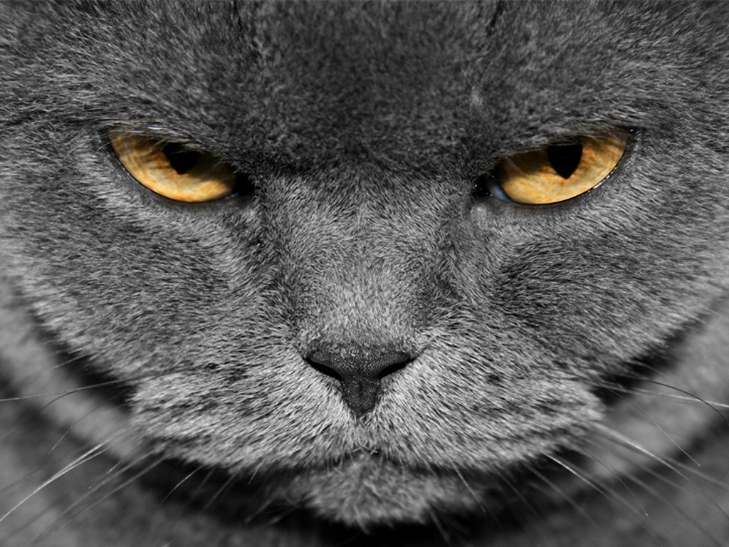 Angry Cat Images Free Download