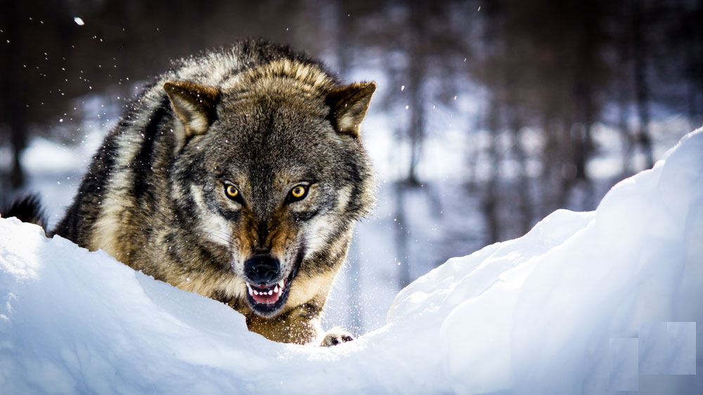 angry animals wallpapers - photo #26